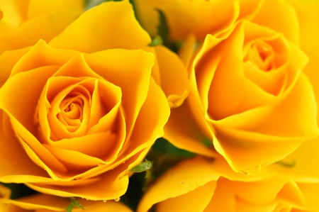 Yellow roses in full frame photo