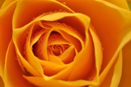 rosas amarillas: Detalle de rosa amarilla húmedo Foto de archivo