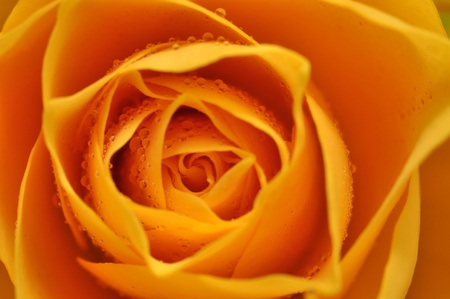 rosas naranjas: Detalle de rosa amarilla h�medo Foto de archivo