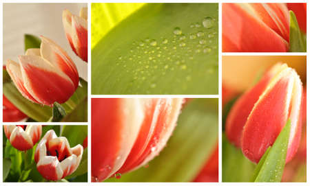 Fresh red tulips collage photo