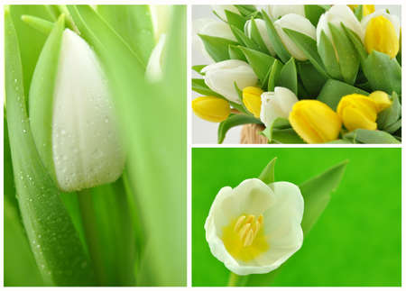 Fresh white and yellow tulips collage photo