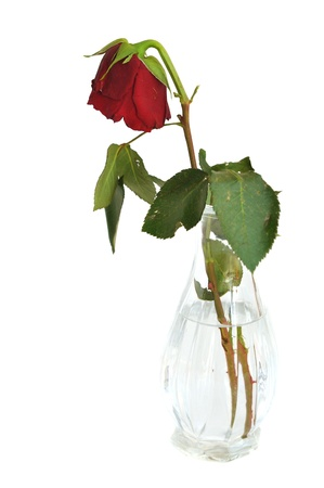 Broken rote rose in einer vase