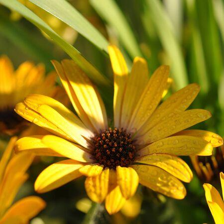 Wet yellow daisies in sunlight photo