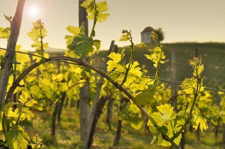 Vineyard in the evening sun. Skalce, Slovenia photo