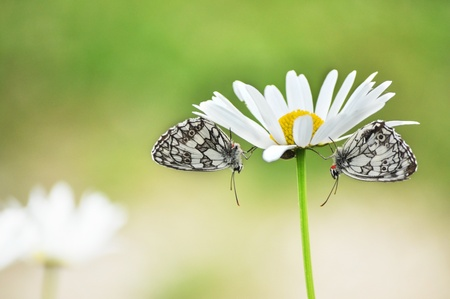 Two butterflies on a daisy photo