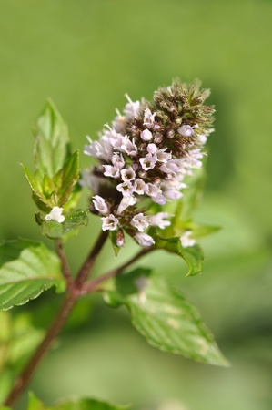 Blooming mint closeup photo
