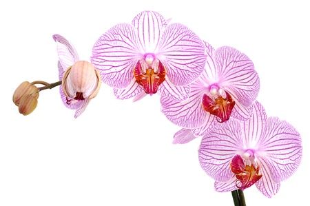 Pink orchids isolated on white background photo