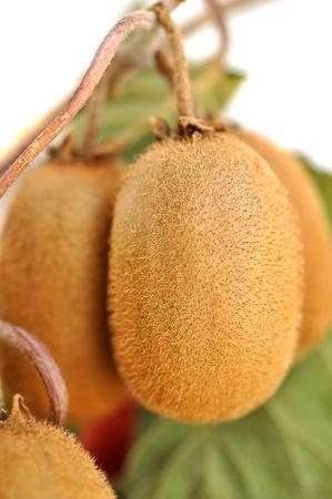kiwi fruta: El kiwi maduro, aislado en blanco