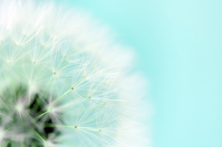 Dreamy dandelion macro photo