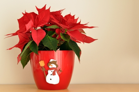 Poinsettia in a red flower pot photo
