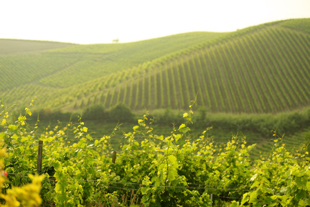 Sunset at the summer vineyard