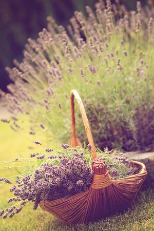 lavender bushes: Bundle of freshly harvested lavender flowers in a wicker basket