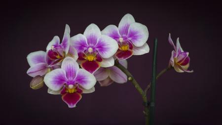 Orchid Flowers Closeup on Dark Purple Background
