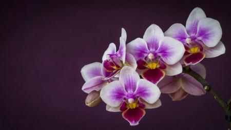 진한 보라색 배경에 난초 꽃 근접 촬영