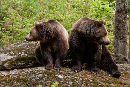 Two bears sitting on a rock, looking at opposite side.