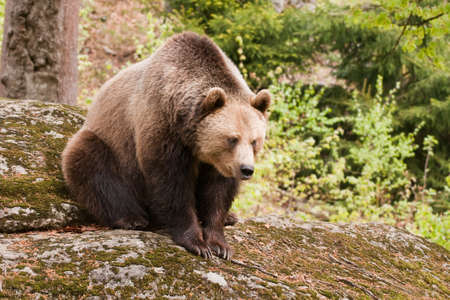 Brown female bear sitting on the rock. Stock Photo