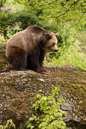Female bear sitting on the rock. Stock Photo