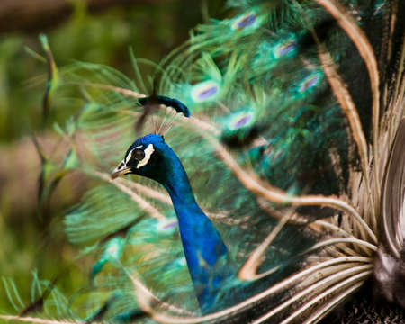 Image of a peacock - head in focus. Stock Photo