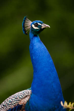 Beautiful peacock portrait showing his right side.
