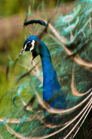 Beautiful peacock is calling his mate.