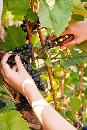 A womans hands cutting grapes.