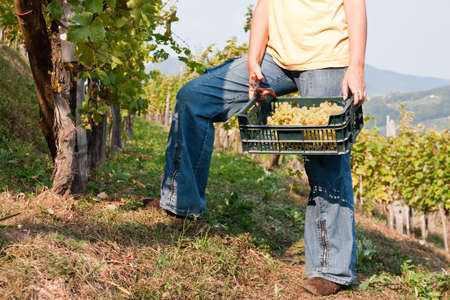Woman holding scissorsand crate filled with grapes. Stock Photo