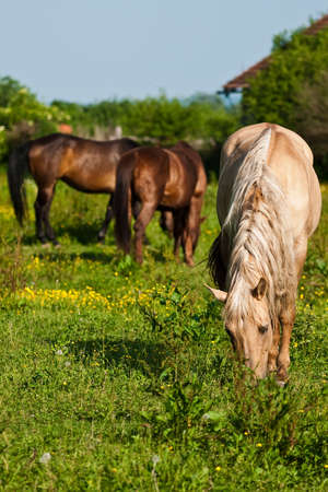 Horses grazing on a green field
