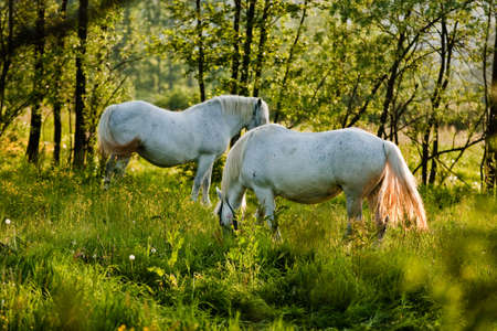 White horses grazing on a green field