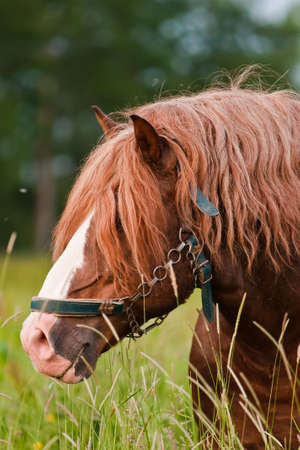 Brown horse grazing in a pasture. Stock Photo