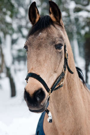 A portrait of a brown horse shoot in winter time. Stock Photo