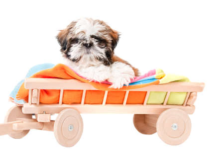 A cute puppy shih-tzu shot on white background Stock Photo