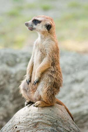 An alert Meerkat on lookout.