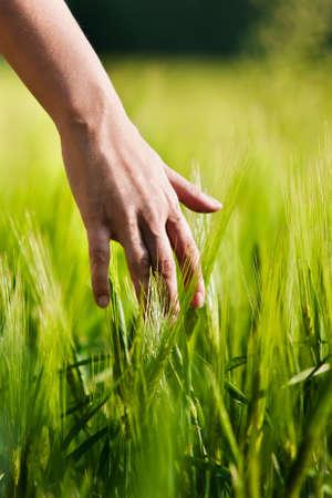 Hand in wheat field. Stock Photo