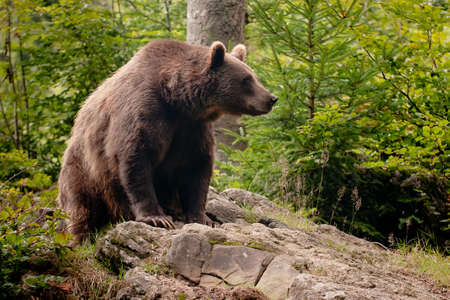 Brown bear sitting on the rock focus on the eye.