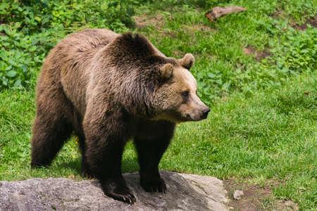 Bear on the rock
