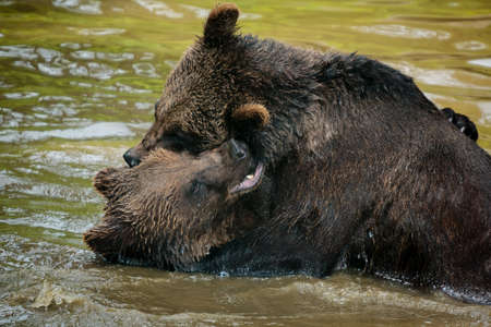 Two bears fighting in the water