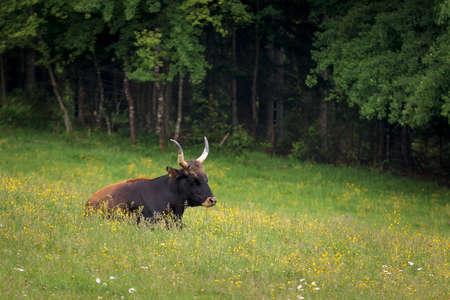Bull lying on the grass