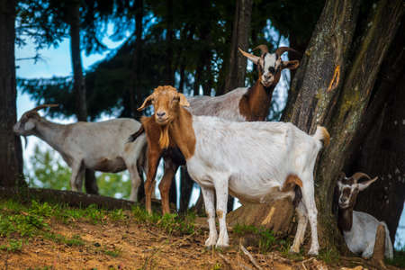 Goats grazing on the meadow