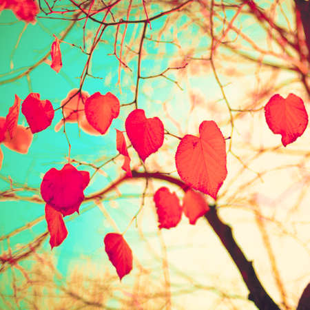fall colors: Red heart-shaped leafs in autumn