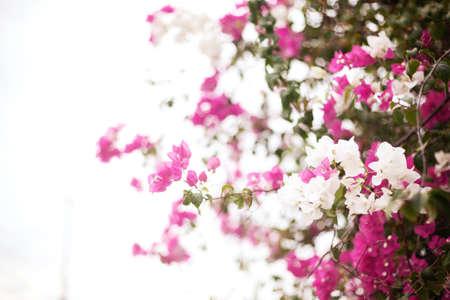 Bougainvillea flowers photo