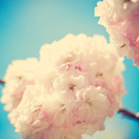 Cherry blossoms over blue photo