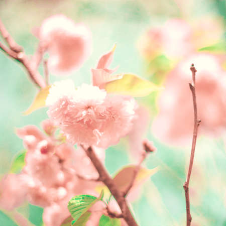 Cherry blossoms over green
