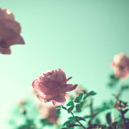 rosas naranjas: Rosas de la vendimia en un jardín Foto de archivo