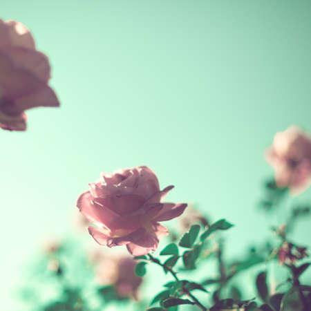 Vintage roses in a garden Banque d'images