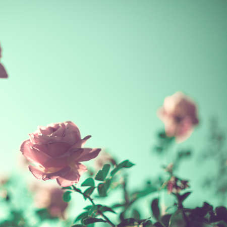 Vintage roses in a garden in spring Stock Photo