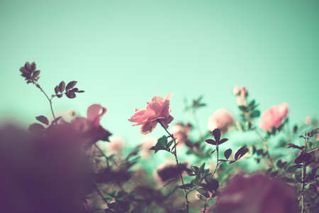 artistic flower: Vintage roses in a garden in spring Stock Photo
