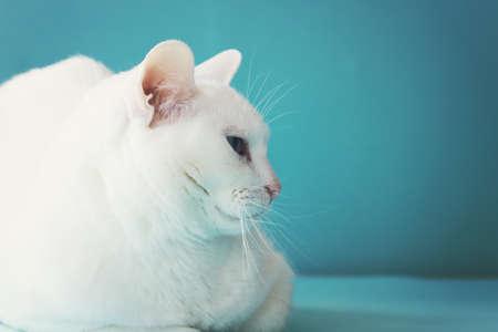 animalitos tiernos: Gato blanco sobre azul
