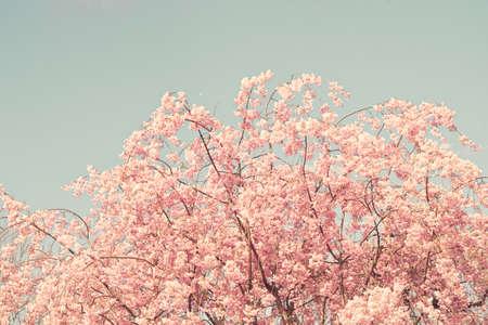 flor cerezo: Cerezo del vintage en primavera