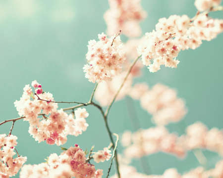 chic: Vintage cherry blossoms in spring Stock Photo
