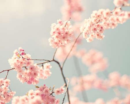 flor de cerezo: Flores de cerezo de la vendimia en la primavera